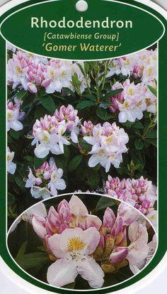 Rhododendron Hybride 'Gomer Waterer' in pot  - kunnen ook gestekt worden..
