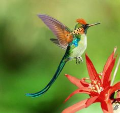 Tufted Long Tailed Hummingbird