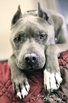 Bluie from Pit Bulls and Parolees Villalobos Rescue Center - Blue Boy Pitbull Lovin' Tania's prince xo