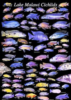 Lake Malawi Cichlids - I've got some of these guys in my aquarium. Would like to own this poster.
