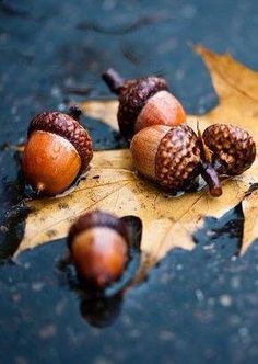 Acorns in the rain