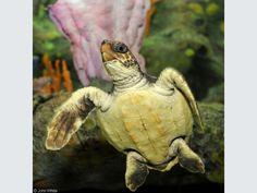 loggerhead_sea_turtle_caretta_caretta01.jpg (1024×768)