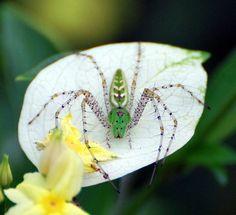 Lynx Spider | Flickr - Photo Sharing!