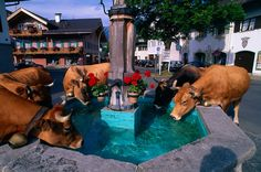 Cows drinking from a fountain, Garmisch-Partenkirchen, Bavaria, Germany as they return to their barns in the city for the night. Repinned by www.mygrowingtraditions.com