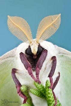 ˚Luna Moth - Actias luna