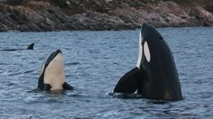 Breathtaking footage of wild orcas and humpbacks above and below the water. A must-see!!!