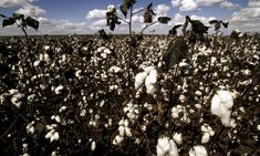 The Impact of a Cotton T-Shirt | Stories | WWF