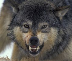 snarling wolf.
