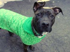 Manhattan Center BRIANNA - A1027730 *** EXPERIENCED HOME *** FEMALE, BR BRINDLE / WHITE, AM PIT BULL TER / BOXER, 1 yr STRAY - STRAY WAIT, NO HOLD Reason STRAY Intake condition EXAM REQ Intake Date 02/11/2015 https://www.facebook.com/photo.php?fbid=961448983867981