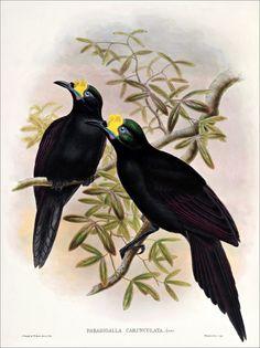 Birds of paradise 35