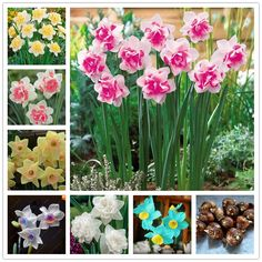 True Narcissus bulbs,daffodil bulbs bonsai flower bulbs Aquatic Plants Double Petals Absorption Radiation potted plant -1 bulb #clothing,#shoes,#jewelry,#women,#men,#hats,#watches,#belts,#fashion,#style