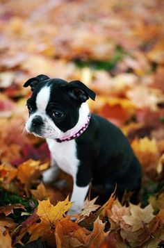 a Boston puppy - cutest puppies in the WORLD
