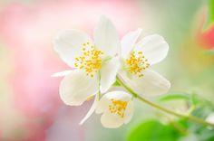 Jasmine Flower by  ThyBruns on 500px