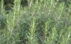 How to Use Herbs in Landscape Design: Organic Gardening