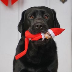 Elf in his mouf.. labradors #labradors