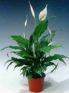 ספטיפילום  http://www.houseplant.co.il/153233/%D7%A6%D7%9E%D7%97%D7%99-%D7%91%D7%99%D7%AA-%D7%A6%D7%9C-%D7%9E%D7%A9%D7%A8%D7%93-1