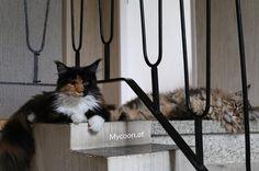 Afternoon nap 😘🐱😘 follow us 🐱🐱🐱👌🐱 #cats #cat #catlover #kitten #kittens #kitty #mainecoon #mainecooncat #cute #cuteness #cutest #love #lovecats #excellent_kittens #cat_features #cutepetclub #thedailykitten #instaanimal #wildlifeplanet #kylokitten #goodhelpishardtofind #adoptdontshop #lucyandrich #smokeyandrich #millieandrich #stanleyandrich #portlandcats #catsofportland #tabby #tabbycat