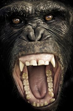 CHIMPANZEE SANCTUARY Ol Pejeta / KENYA ok this gives us the heebeejeebees......