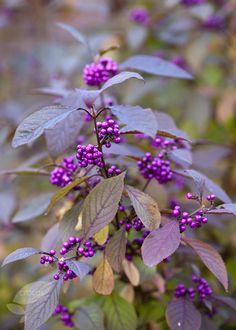giraldii 'Profusion' beauty berry: Lovely violet berries on bare branches Cottage Garden Plants, Garden Shrubs, Lavender Flowers, Cut Flowers, Small Flowers, Lavender Cottage, Garden Care, Back Gardens, Winter Garden