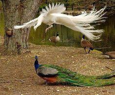 Peacocks!
