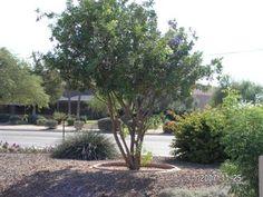 Tabebuia Impetiginosa Purple Trumpet Tree Sun Ls 12
