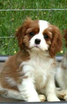 Sweet Cavalier pup