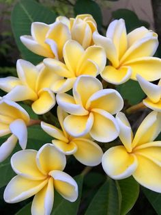Plumeria -- one of Mother Nature's sweetest perfumes and most lovely flowers.  Intoxicating scent.  Makes me want to go back to Maui!