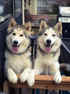 Wonderful All About The Siberian Husky Ideas. Prodigious All About The Siberian Husky Ideas. Cute Puppies, Cute Dogs, Dogs And Puppies, Doggies, Baby Animals, Funny Animals, Cute Animals, Beautiful Dogs, Animals Beautiful