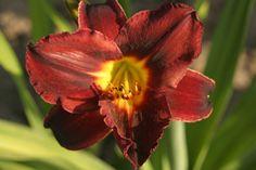 Hemerocallis Tuxedo - Crin de o zi Tuxedo, Horsehair, Plant