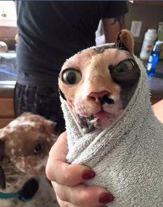Sphynx cat bath time