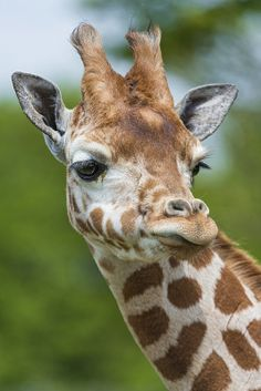 Funny giraffe looking at the side