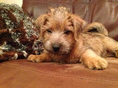 Norfolk terrier puppy Rocky too cute