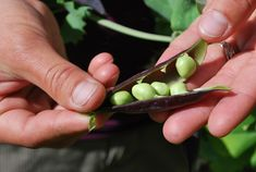 How to plant, grow, and harvest peas in the garden by The Old Farmer's Almanac.