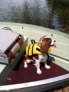 King Charles Spaniel...loves to go fishing with Dad.  Pharley...8 months old.