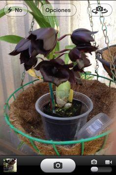 Mis orquídeas negras al abrir