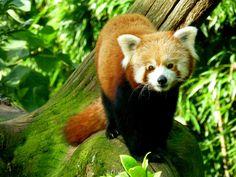 le beau panda roux! mignon