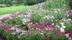 Cosmos bed at Harlow Carr Zinnias, Petunias, Scented Geranium, Cold Frame, Royal Brides, Hardy Perennials, Growing Seeds, Salvia, Growing Flowers