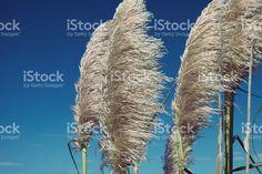 'Toitoi' or 'Toetoe' Grass royalty-free stock photo