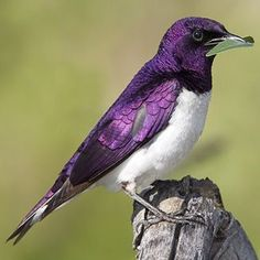 cool Spreo bicolor (Pied starling)