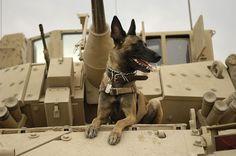 Belgian Shepherd Malinois on top of tank - Malinois (Belgian Shepherd Dog) - Wikipedia, the free encyclopedia