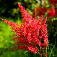 Astilbe (False Spirea) is a sturdy plant that needs very little to thrive. Astilbe is known to attract butterflies, a welcome addition to most gardens since they can help pollinate and add even more color. Looking for a yellow or orange perennial? Find one next.(iStockphoto.com/Adrio)