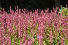 """Persicaria amplexicaulis """" Orange Field """" ® - rdesno Zahradnictví Krulichovi - zahradnictví, květinářství, trvalky, skalničky, bylinky a koření"""