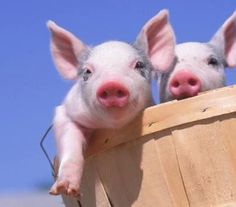 Pigs in a basket