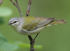 Tennessee Warbler, Identification, All About Birds - Cornell Lab of Ornithology