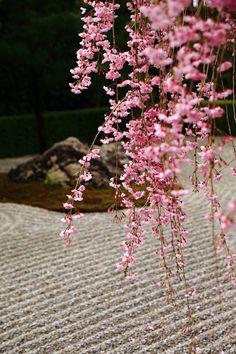 京都妙心寺退蔵院の陰陽の庭の満開の圧巻のしだれ桜 Myoshin ji, Kyoto