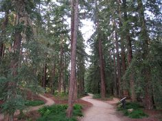 UC Davis Arboretum - the redwood grove LOVED walking thru this beautiful trail.  Didn't take advantage of this enough while I lived there!!