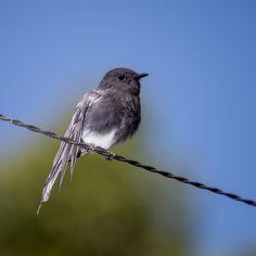 Black Phoebe Atrapamoscas Guardapuentes Sayornis Nigricans