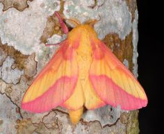 ✿ Common Yellow and Pink Moth ~ Brazilian Amazon ~ By artour_ a ✿