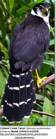 Collared Forest Falcon (Micrastur semitorquatus)
