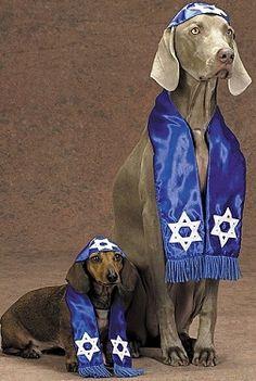 Weimaraner and Weiner Dog Dachshund in Hanukah/Mitvah Costume